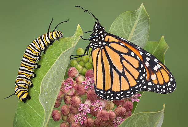 butterfly with Caterpillar